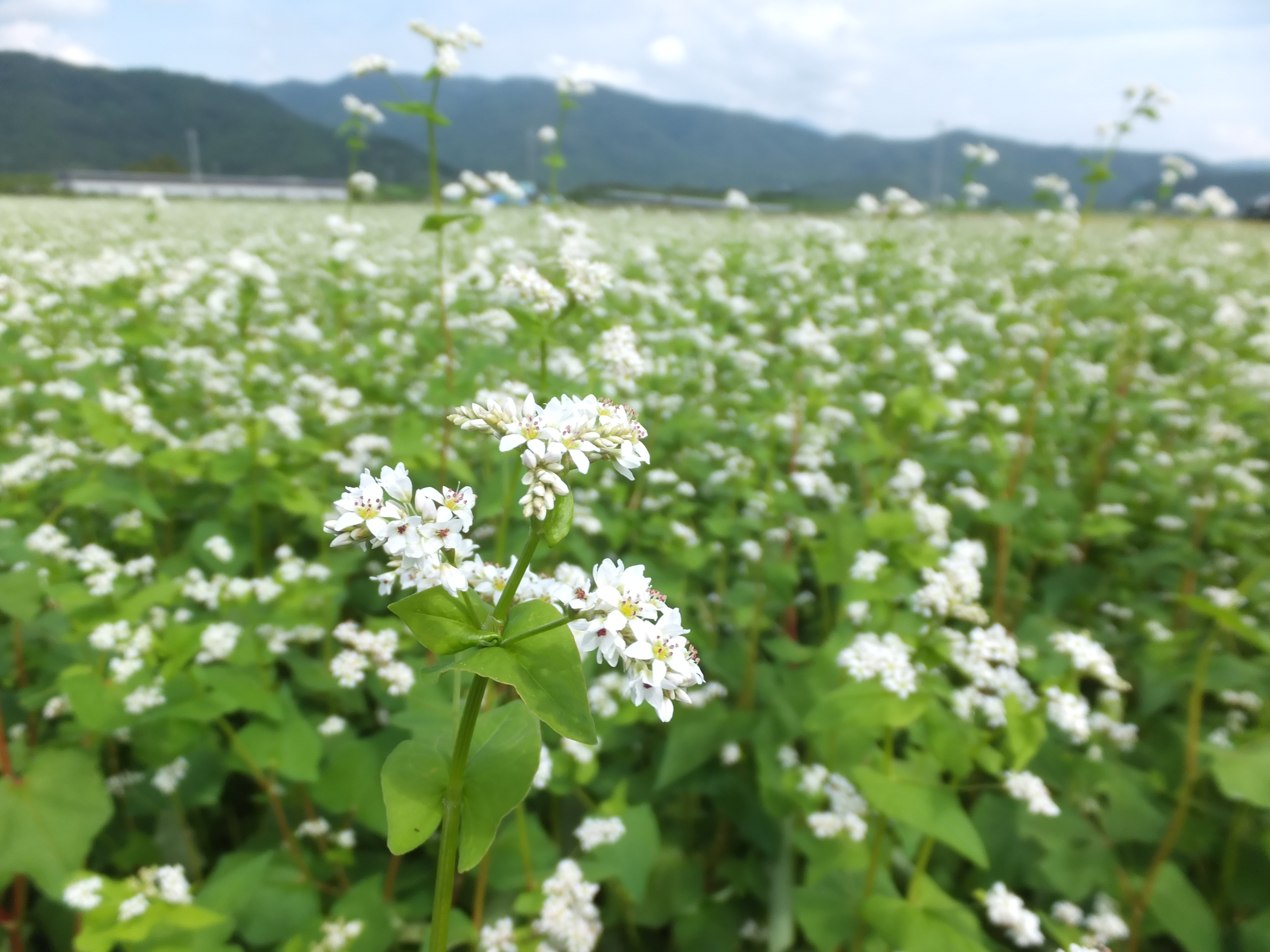秋そばの花(H28.9月)